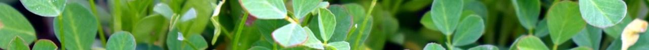 Fenegriek (Trigonella foenum)