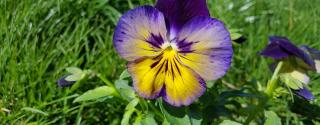 Driekleurig viooltje