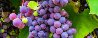 Druivenpit (OPC)