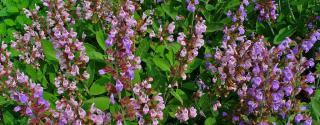 Salvia (Salie)
