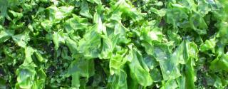 Zeesla (Ulva lactuca)