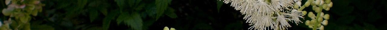 Cimicifuga (Zilverkaars)