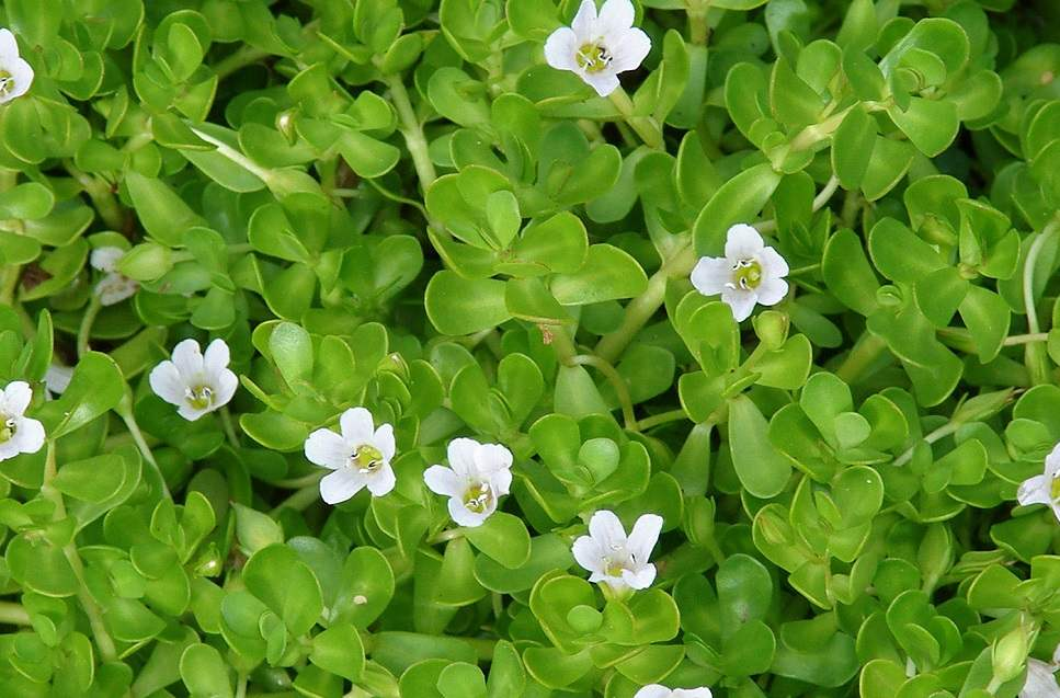 wat is bacopa?