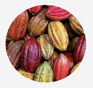 cacao-peru