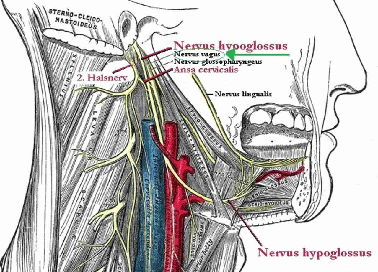 nervus vagus