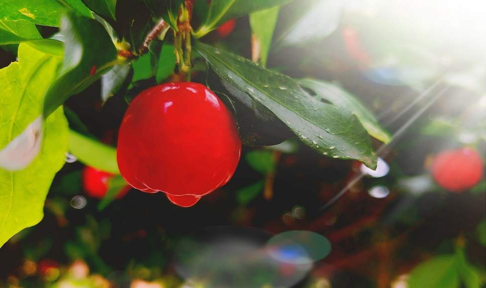 wat is acerola?