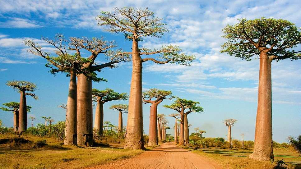 wat is baobab?