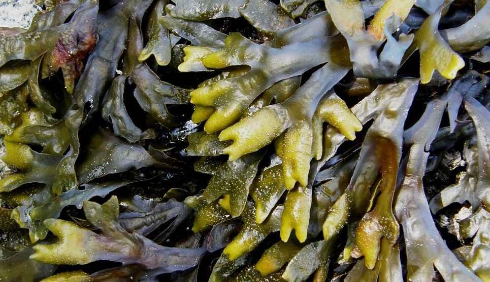 wat is kelp?