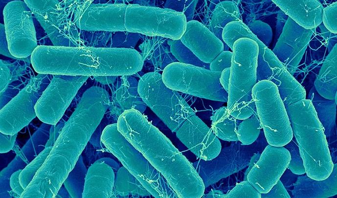 voor wie is Lactobacillus Bulgaricus?