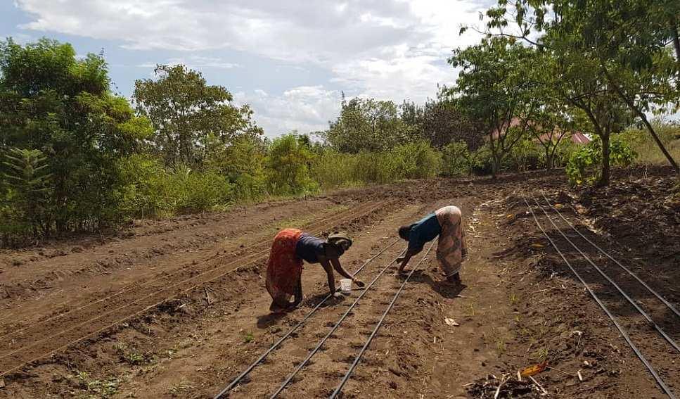 tanzania gold moringa