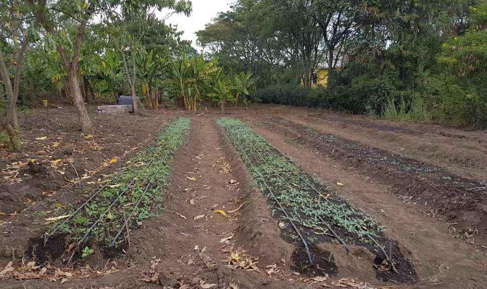 tanzania gold moringa plantage